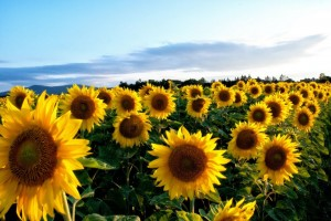 sunflower-63758_1280
